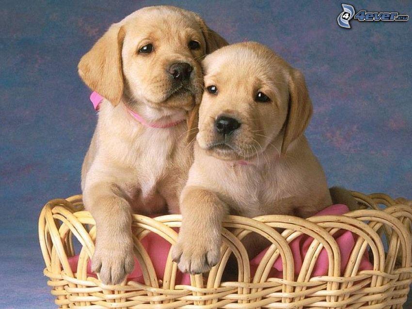 cachorros de Labrador, perros en cesta