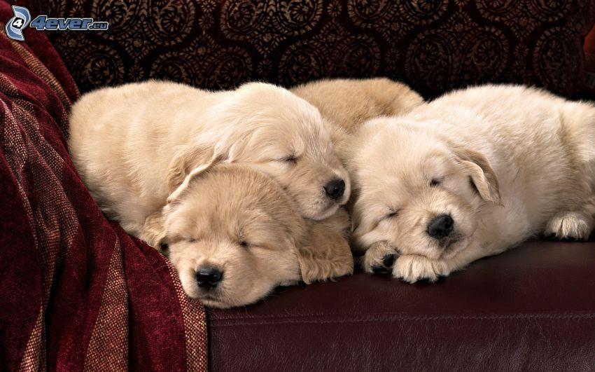 cachorros durmiendo, cachorros de Labrador