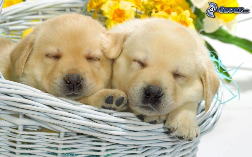 cachorros durmiendo, cesta