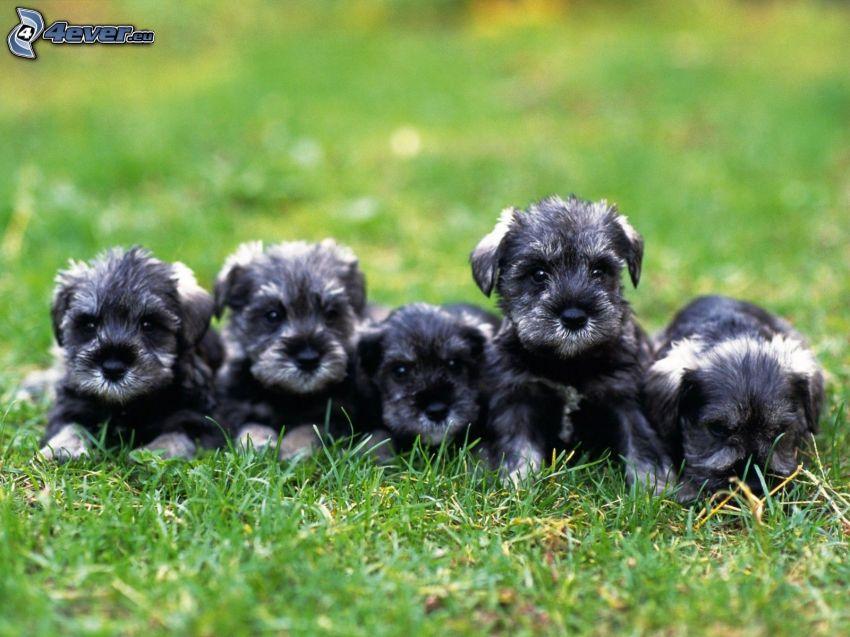 cachorros en la hierba, schnauzer miniatura