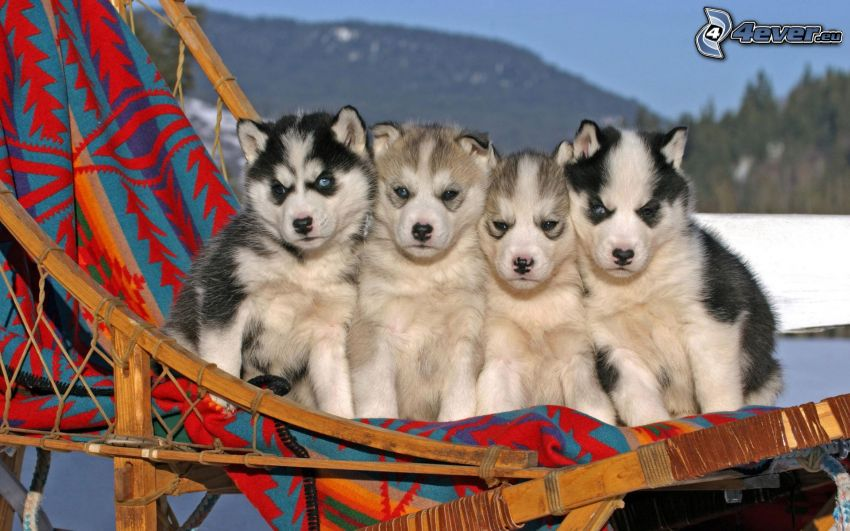 cachorros husky, trineo
