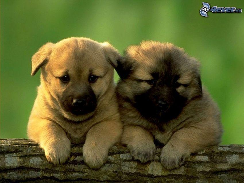 cachorros marrones, leonberger, tribu
