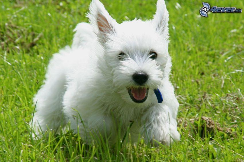 cairn terrier, carrera, hierba