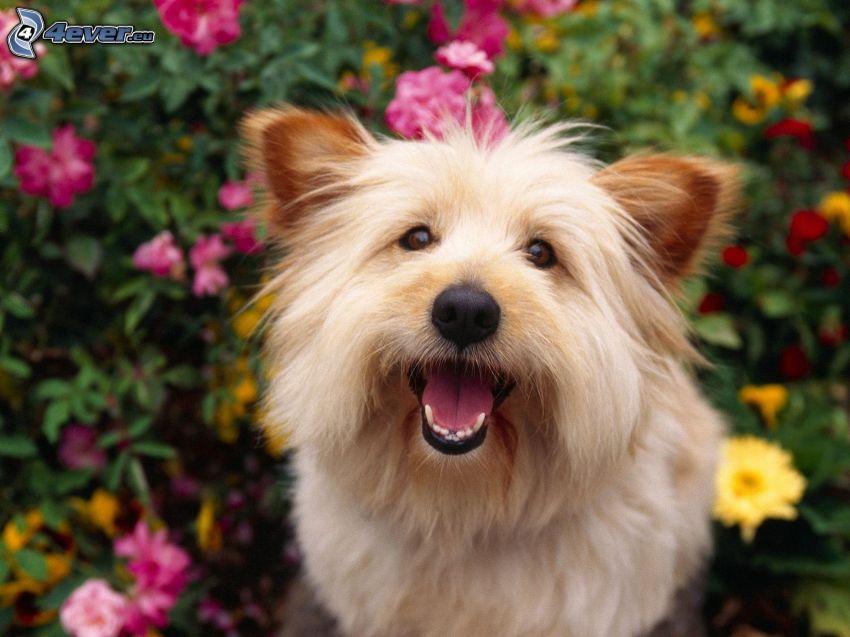 cairn terrier, flores de color rosa, flores amarillas