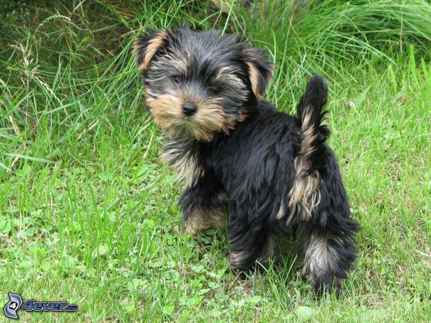 cairn terrier, hierba