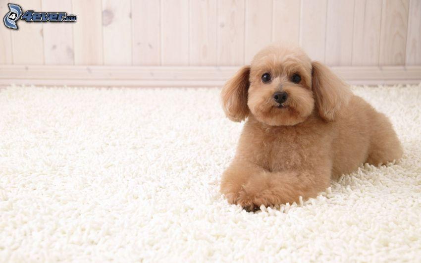 caniche, alfombra