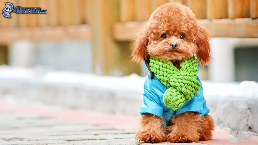 caniche, bufanda, chaqueta