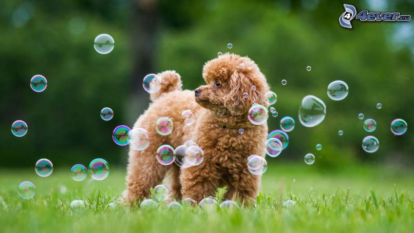 caniche, burbujitas, mirada