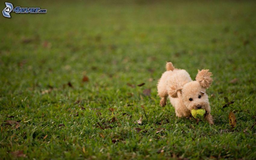 caniche, perrito marrón, pelota de tenis, juego