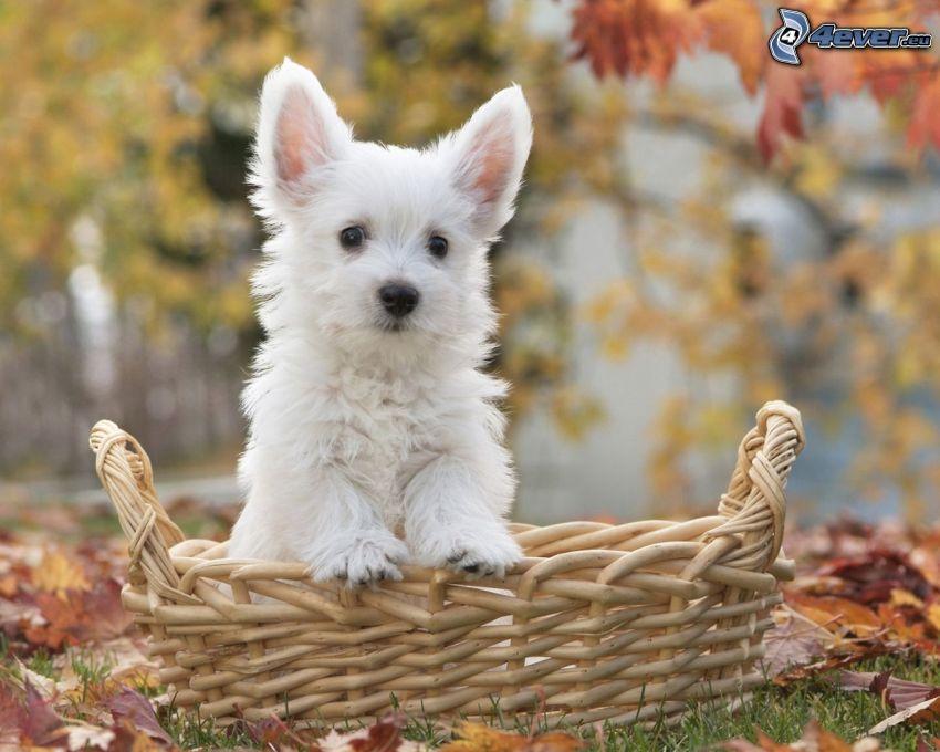 caniche, perro blanco, cesta, hojas de otoño