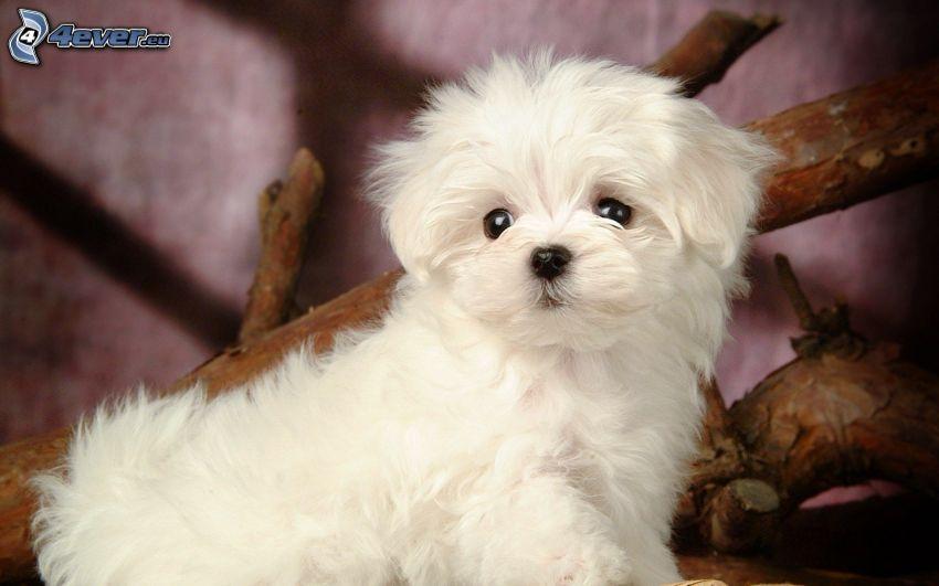 caniche, perro blanco