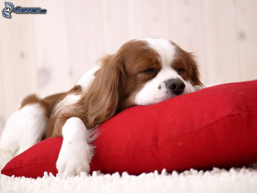 Cavalier King Charles Spaniel, dormir, almohada
