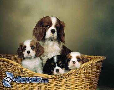 Cavalier King Charles Spaniel, perros en cesta