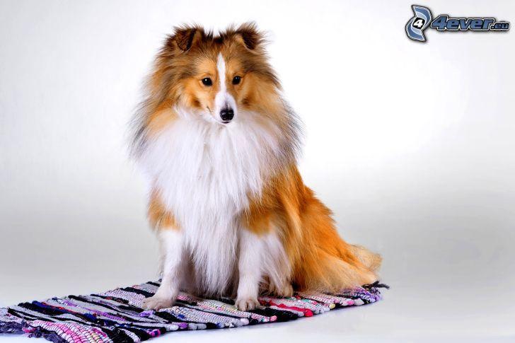 collie, cachorro, alfombra