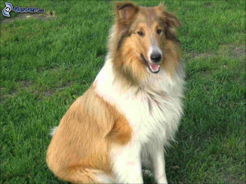 collie, césped