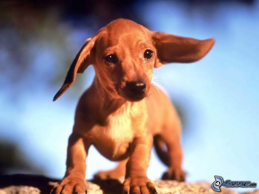 dachshund cachorro, orejitas