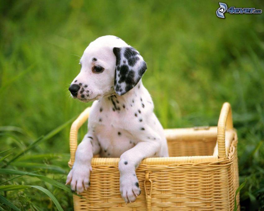 Dálmata, cachorro