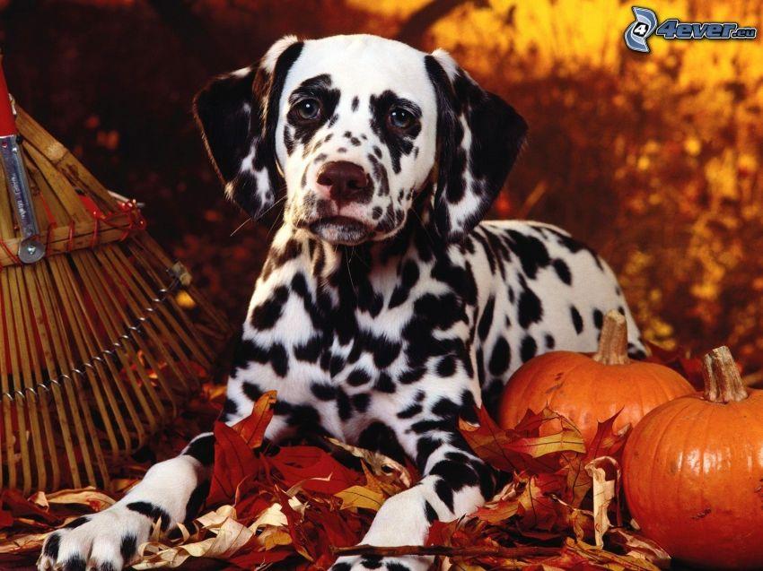 Dálmata, calabaza, hojas caídas