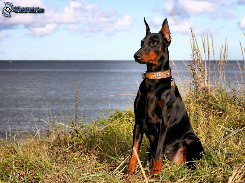 doberman, Alta Mar