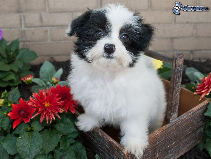 el perro habanero, flores rojas, caja