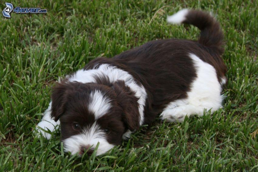 el perro habanero, hierba