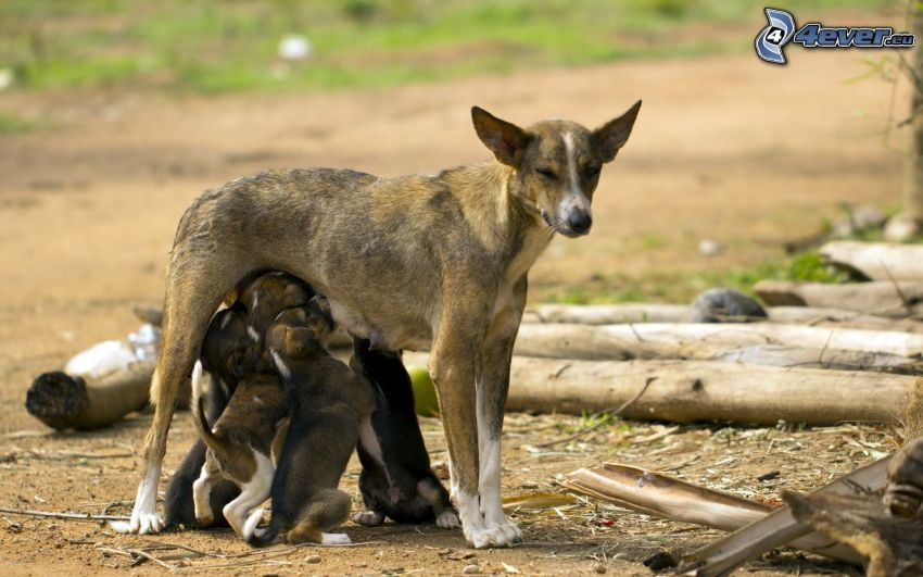 familia, hembra, cachorros, alimentación