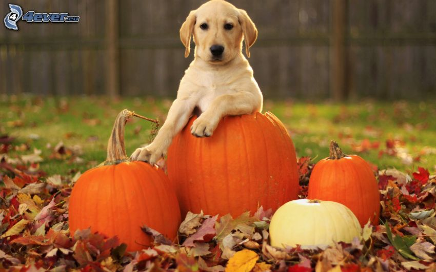 golden retriever, cachorro, calabaza