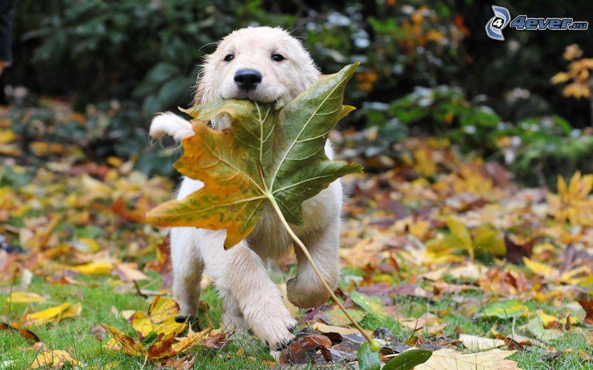 golden retriever, cachorro, hojas de otoño