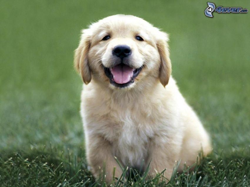 golden retriever, cachorro, perro, sonrisa