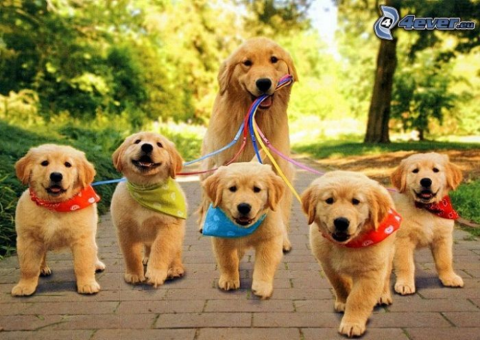 golden retriever, cachorros