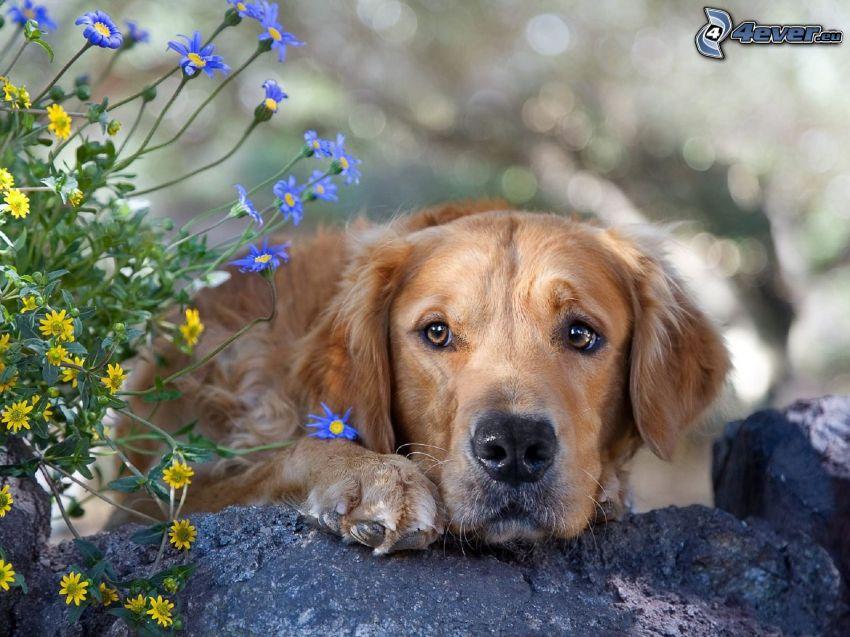 golden retriever, flores de campo, roca