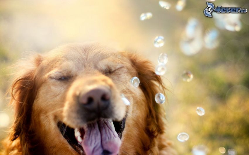 golden retriever, gotas de agua