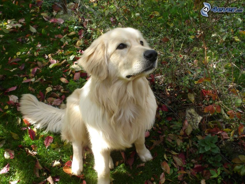 golden retriever, hojas de otoño
