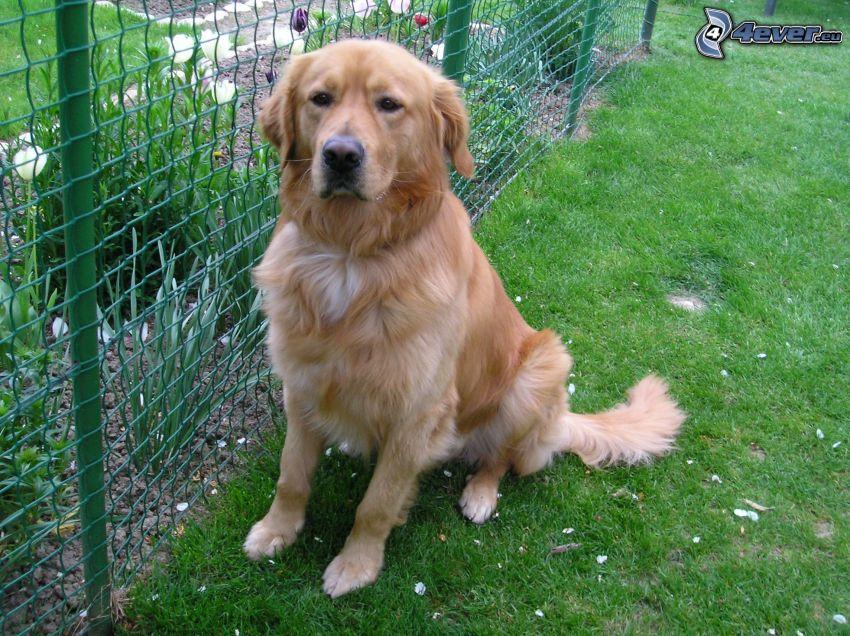 golden retriever, jardín, alambre de la cerca