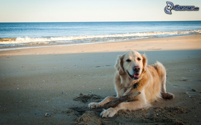 golden retriever, madera, playa de arena, mar