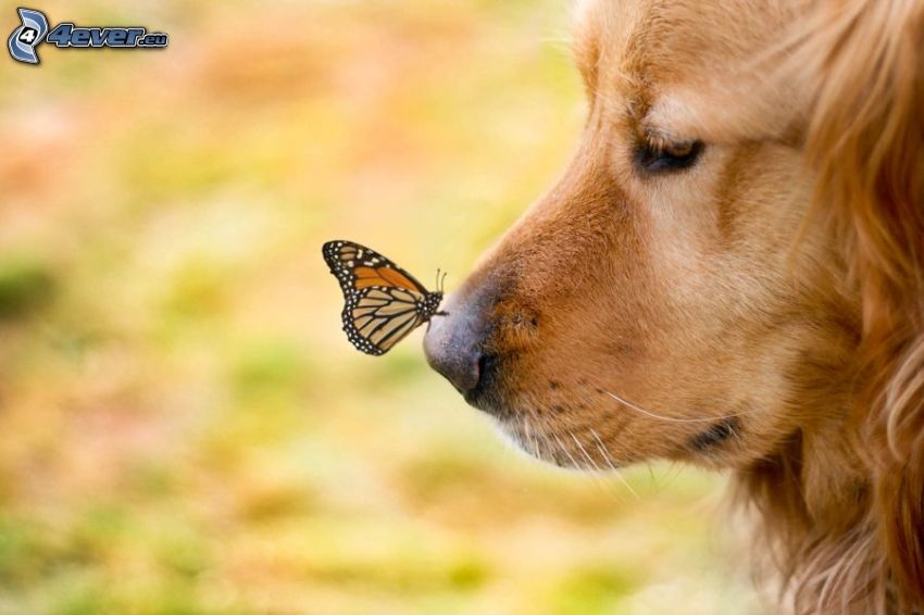 golden retriever, mariposa, hocico