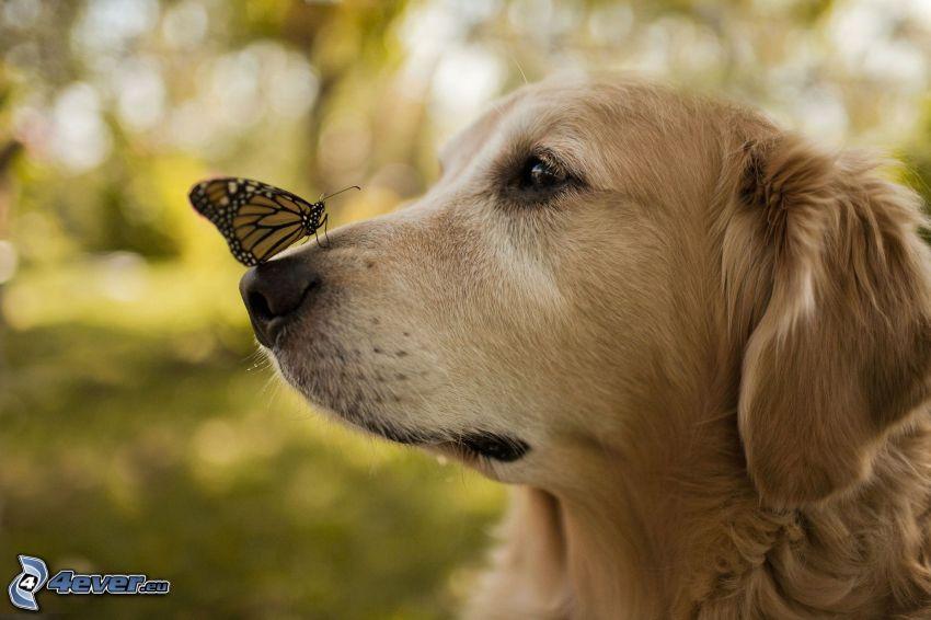 golden retriever, mariposa