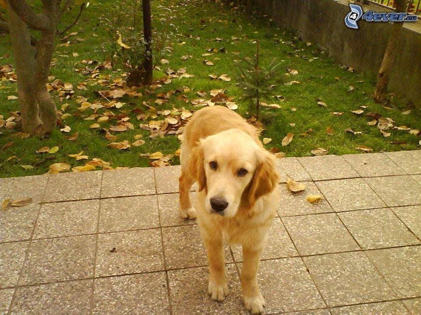 golden retriever, pavimento, hierba, hojas secas