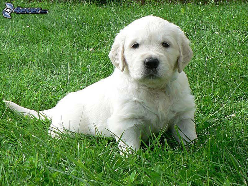 golden retriever, Perrito blanco