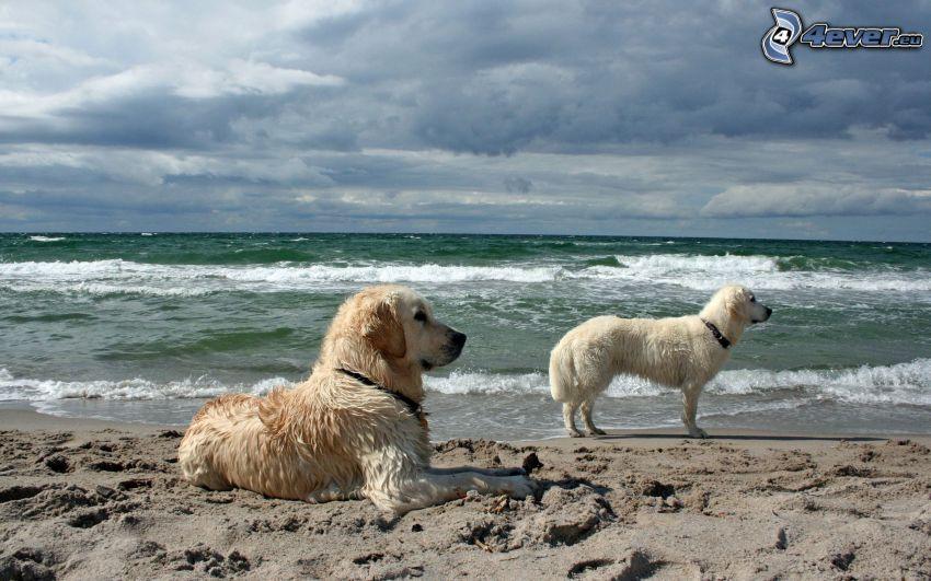 golden retriever, perro blanco, playa de arena, mar