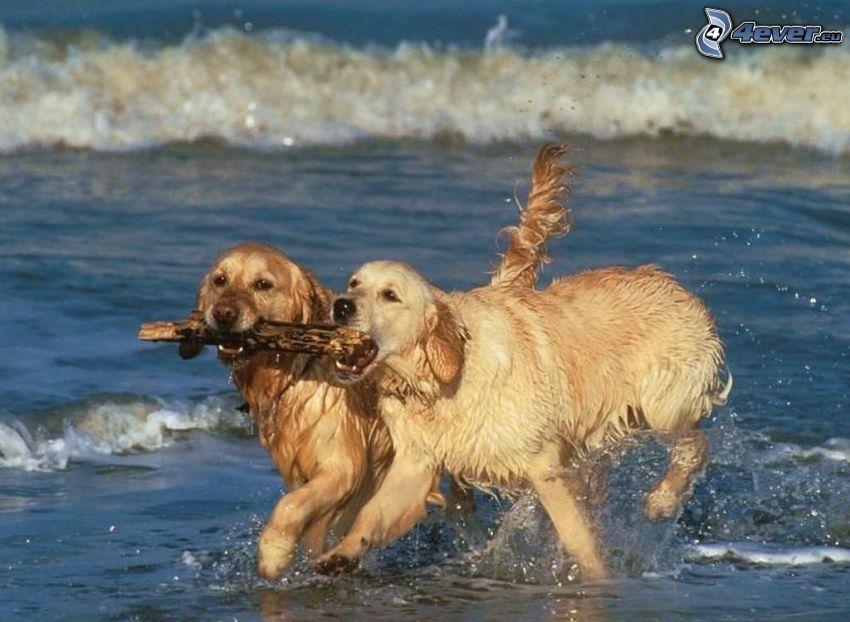 golden retriever, perros en el agua, olas en la costa