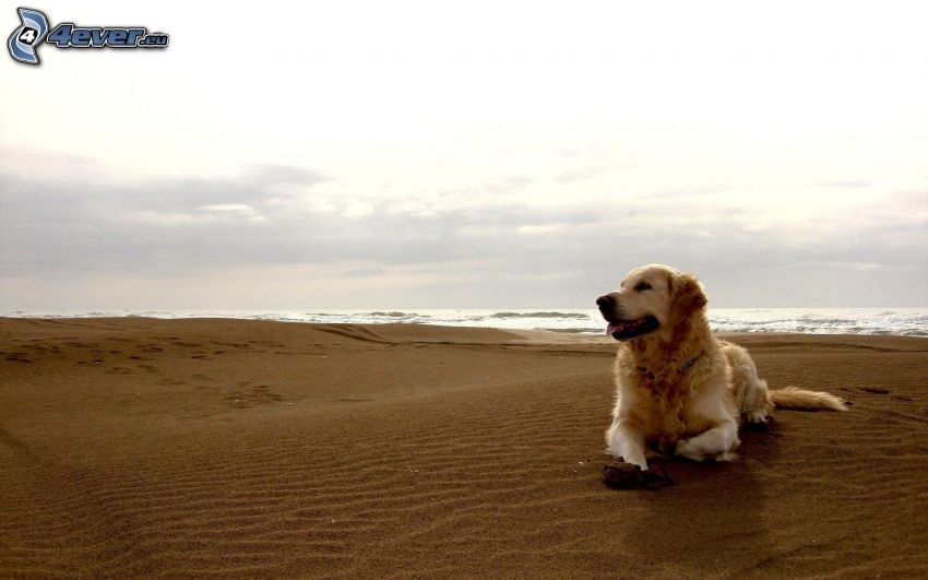 golden retriever, playa
