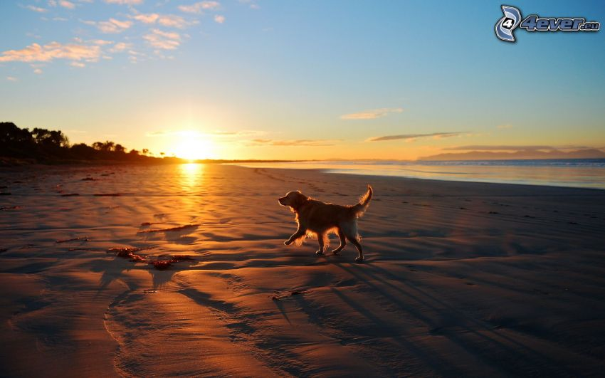 golden retriever, playa al atardecer