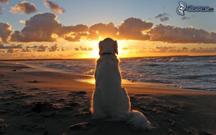 golden retriever, puesta de sol sobre el mar, playa