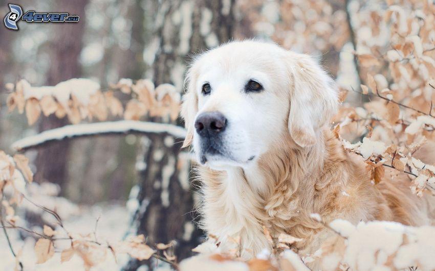 golden retriever, ramas cubiertas de nieve