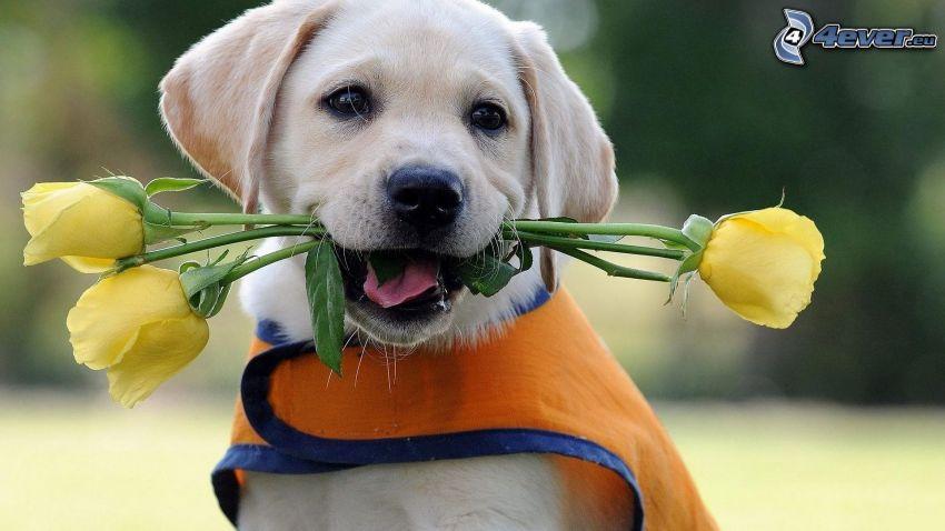 golden retriever, rosas amarillas