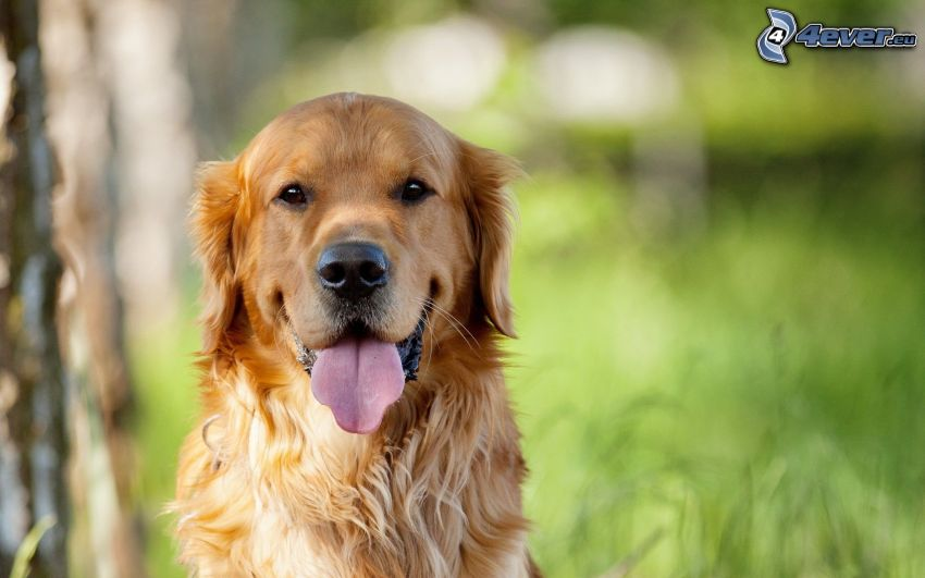 golden retriever, sacar la lengua