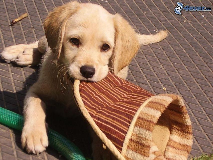 golden retriever, zapatilla, cachorro
