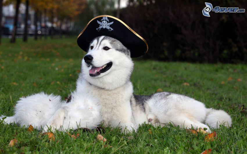 Husky de Siberia, sobrero de pirata, césped