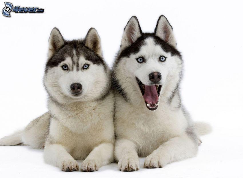 Husky de Siberia
